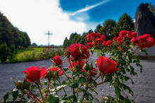 Rose In Brezje