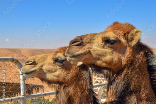 portrait of camel in desert
