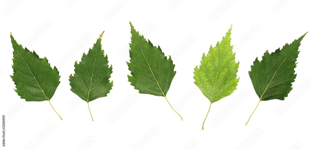 Set birch leaves isolated on white background, top view with clipping path