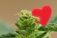 Medicine Cannabis Plant Red Heart