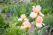 Close-up View Of An Iris Flowe...