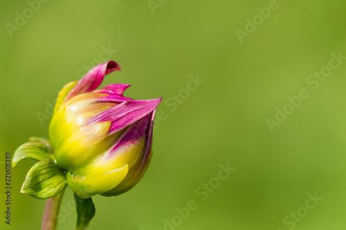 Blühende Dahlienblüte (Asteracea) vor grünem natürlichen Hintergrund.
