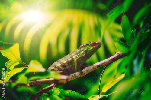 Foto op Plexiglas Kameleon Colorful chameleon named '' lendormi '' by the Reunionese, hidden in the vegetation