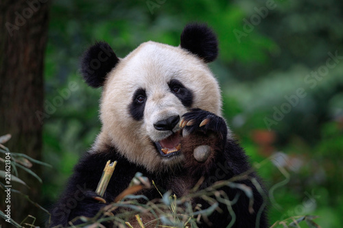 Aluminium Prints Panda Happy Panda Bear Waving at the Viewer, Bifengxia Panda Reserve in Ya'an - Sichuan Province, China. Endangered Species Animal Conservation, Fluffy cute panda bear waving its paw in the air