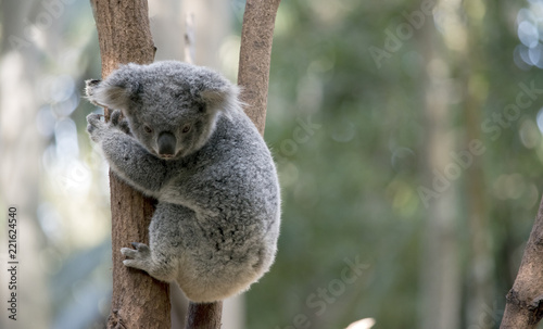 Recess Fitting Koala joey koala