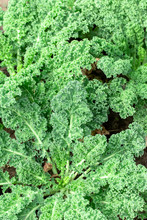Growing Kale Cabbage In Garden Outdoors Closeup