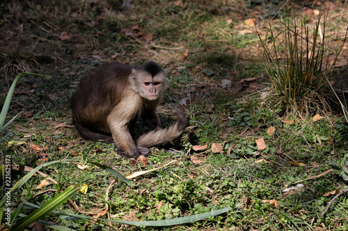 Fotografija  Full body of white-headed Capuchin New World monkey of the subfamily Cebinae