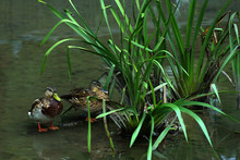 Wild Ducks On An Abandoned Pond Near A Bush Of Bulrushes