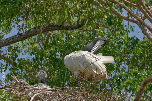 Fotografija  A family of Jabirus on their nest in the Pantanal region of Brazil