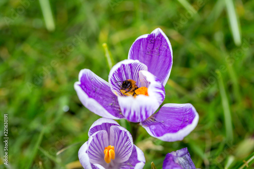 Fotobehang Krokussen Blooming Striped Pickwick Crocus flowers