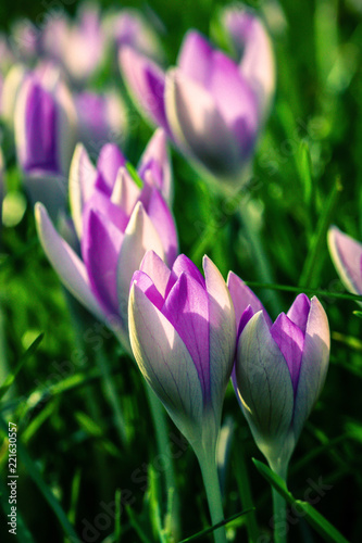 Purple Crocus flowers in the sunshine