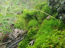 Moss On A Birch Tree In The Autumn Forest