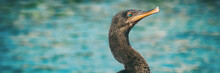 Galapagos Flightless Cormorant Wildlife Bird Cormorants Blue Eyes On Ocean Background Panoramic Banner On Fernandina Island, Espinoza Point, Ecuador, South America Travel.