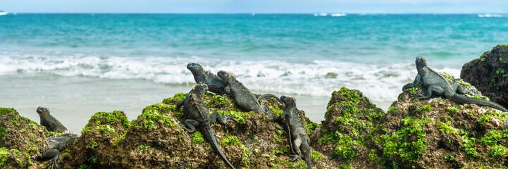 Wyspy Galapagos Legwany morskie przyrody relaks na plaży transparent panorama oceanu w tle na wyspie Isabela, Islas Galapagos. Podróżuj stylem życia.