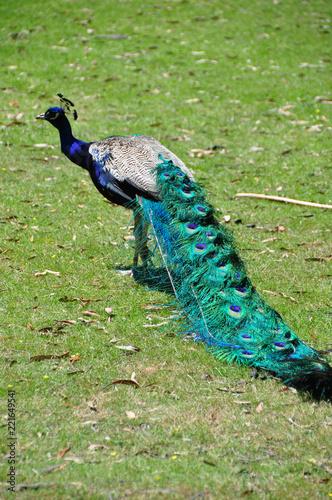 Foto op Aluminium Pauw Peacock close up