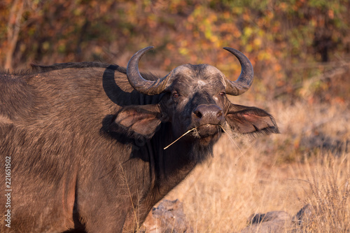 Tuinposter Buffel Buffalo in Zambezi Private Game Reserve, Zimbabwe