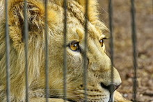 Lion In Zoo Cage Dreams Of Freedom