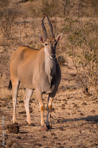 Fotobehang Antilope Eland in Zambezi Private Game Reserve, Zimbabwe