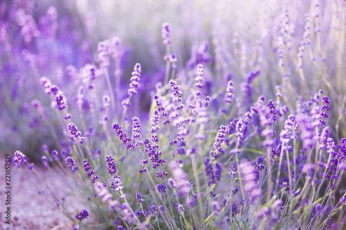 Spoed Foto op Canvas Lavendel Sunset sky over lavender bushes. Close-up of flower field background. Design template for lifestyle illustration.