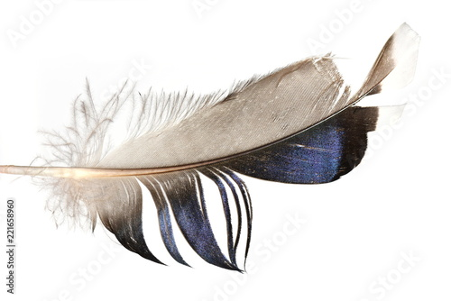 Feather from magpie bird isolated on white background