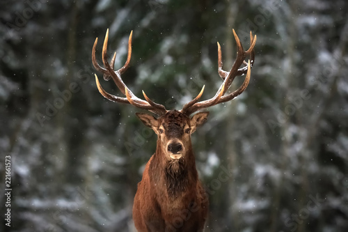 Montage in der Fensternische Hirsch Noble deer male in winter snow forest.