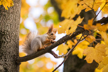 Nice Squirrel With Nut Sitting On The Autumn Tree