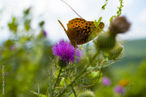 Butterfly On Milk Thistle Flower  In Blue Ridge Mountains