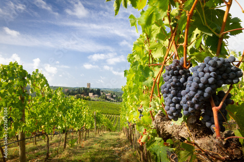 Fotografiet  Harvest in Chianti vineyard landscape with red wine grapes and characteristic ab