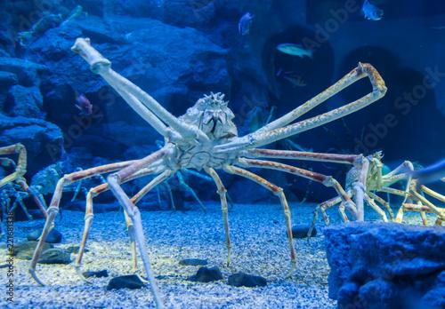 Japanese giant crab (macrocheira kaempferi)