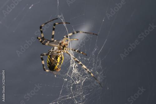 araignée tissant sa toile Canvas Print