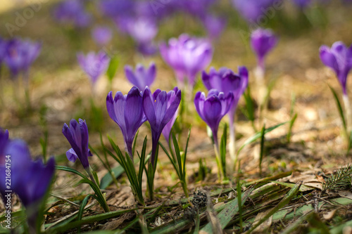 Foto op Canvas Krokussen Alpine crocuses blossom in the mountains of the Carpathians on top of the mountain. Fresh beautiful purple crocuses. Flowering blue crocus in summer.