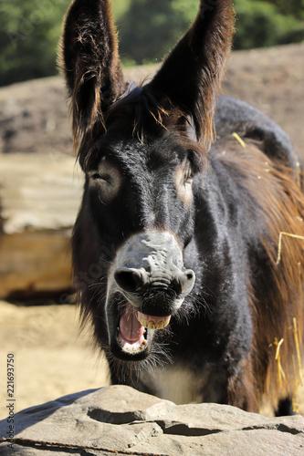 Deurstickers Ezel Portrait of yawning oscitant domestic Catalan donkey on the farm