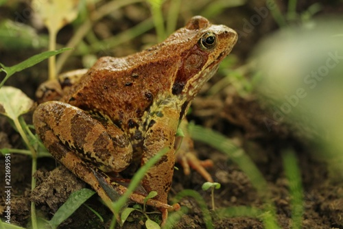 Tuinposter Kikker A yellow-brown frog sits on the ground amid the grass