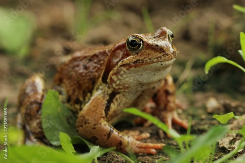 Foto op Aluminium Kikker A yellow-brown frog sits on the ground amid the grass