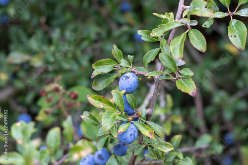 Valokuva Close up of purple sloe berries at the blackthorn bush in summer