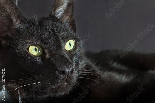 Fotografia  Halloween concept, Black cat. Face of Domestic pet sitting