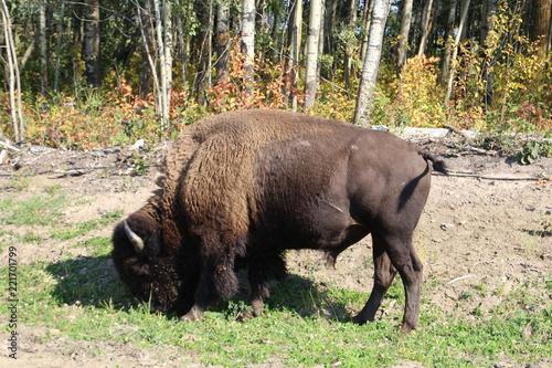 Foto op Canvas Bison Bison Grazing, Elk Island National Park, Alberta