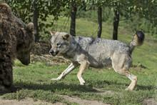 Europese Wolf Gromt Tegen Brui...