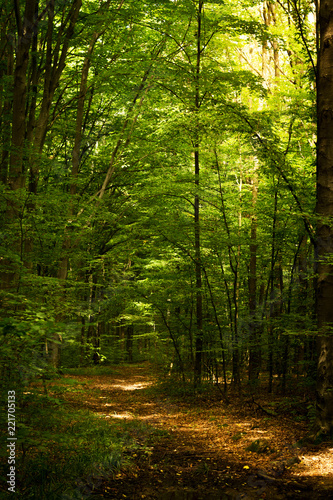 Beech forest. Main forest-forming species of European forests