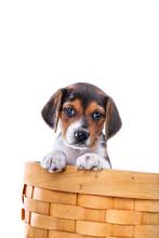 Cute Beagle Puppy In A Basket