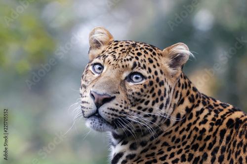 Poster Leopard Panthère de Java en gros plan