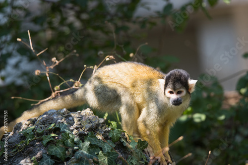 Spoed Foto op Canvas Aap black-capped squirrel monkey