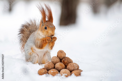 Photo sur Toile Squirrel The squirrel stands with nut in paws on the snow in front of a pile of nuts