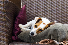 The Racial Jack Russell Terrier Lies Comfortably On The Armchair Cushions