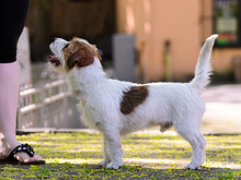 Jack Russell Terrier Training ...