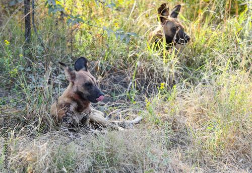 Foto op Aluminium Hyena Wild Dogs Botswana