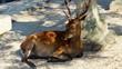 Ruhende Hirsche im Wald