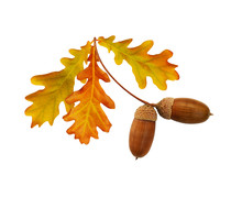 Autumn Yellow And Brown Oak Ac...