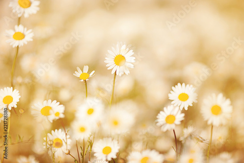 Fototapeta beautiful blonde in a chamomile field obraz na płótnie