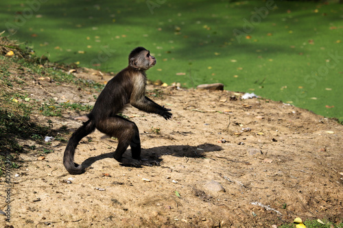 Fotografia, Obraz  Standing white-headed Capuchin New World monkey of the subfamily Cebinae